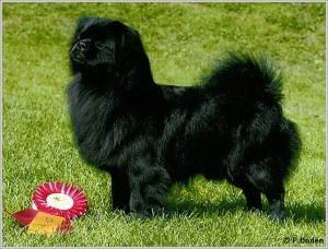 Tibetansk Spaniel - Landboskogens Black Jack