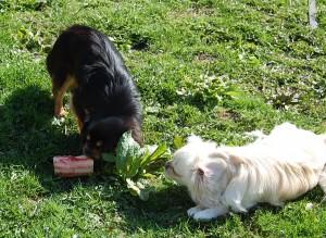 Daisy ligger roligt og kigger på at Bonnie gnaver