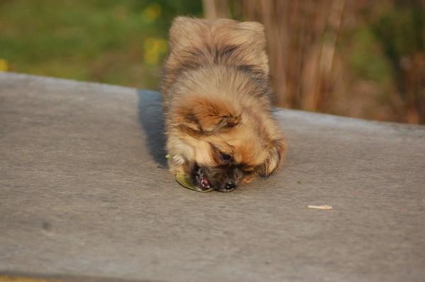 Det er altså svært at bide i et blad der ligger fladt ned