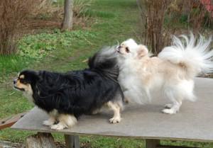 Hundmando Pronto og Daisy