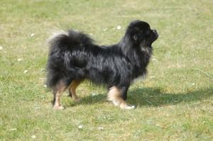 En smuk hund