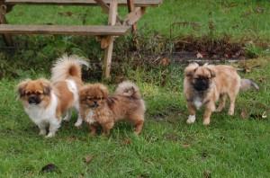 Tre smukke hunde