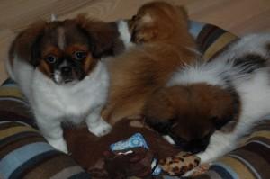 Fra venstre : Aiko, Cæsar og Ayla