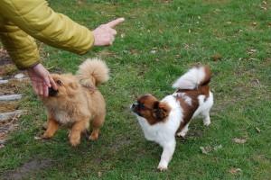 Det er ikke nemt at få livlige unghunde til at forstå hvorfor de skal stå stille.