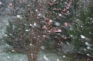 Min Kejserbusk blomstrer flittigt uanset vejret
