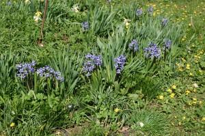 Duftene hyacinther