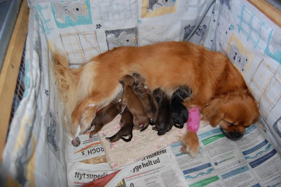 6 hvalpe , 2 tæver og 4 hanner