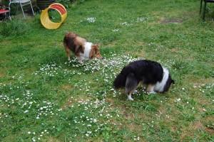 Bonnie og Sif ( Sheltier ) leder efter guf