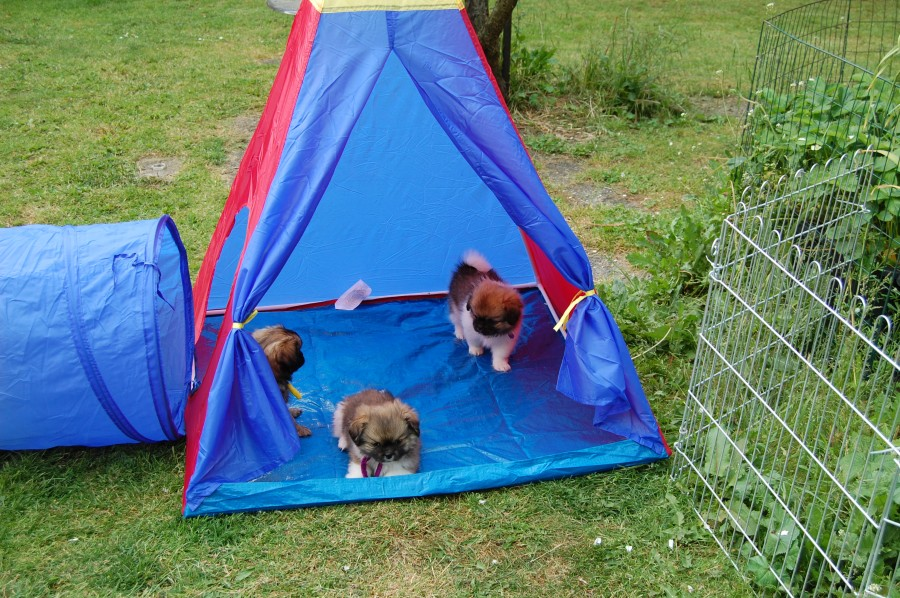 Fie, Gloria og Gaya har indtaget teltet