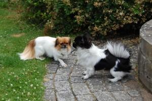 Askim`s Princess Ponya og Alvin
