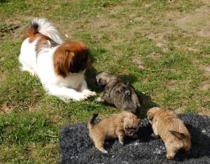 11.04.2016 Ley-La`s hvalpe Aiko har født Ruby`s hvalpe ude 036