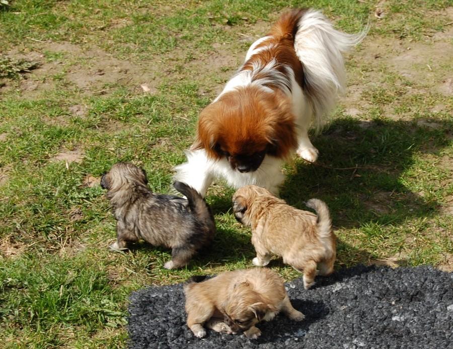 11.04.2016 Ley-La`s hvalpe Aiko har født Ruby`s hvalpe ude 037