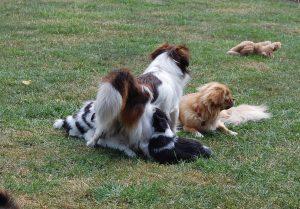 Aiko og Silke med deres hvalpe