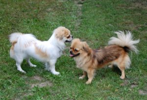 To smukke hunde