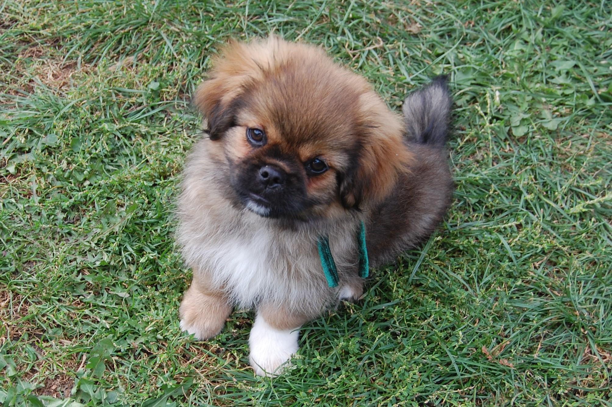 tibetansk tempelhund til salg